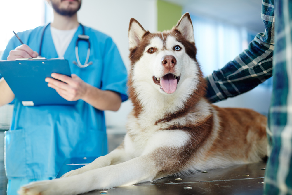 Husky dog getting tested for Diseases in Helena, MT.