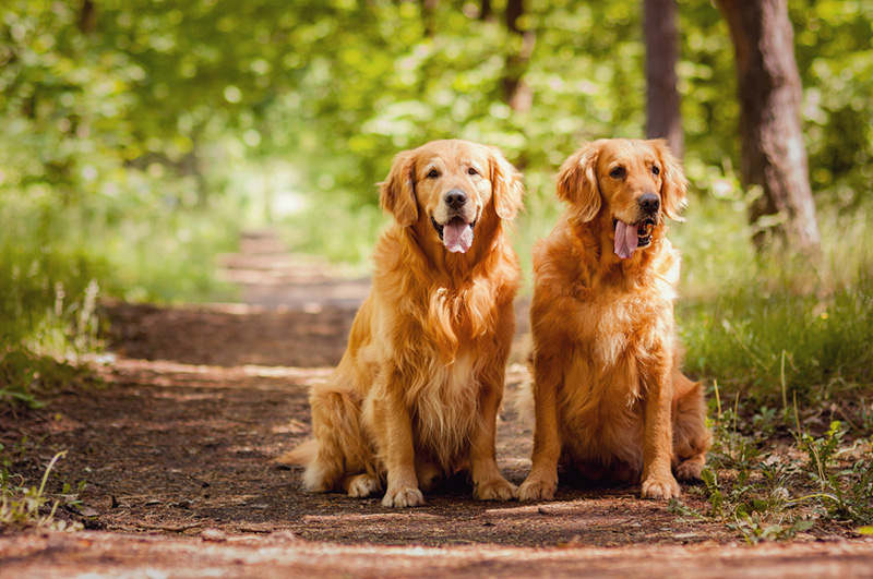 Two Golden Retrievers sitting on a wooded pathway.